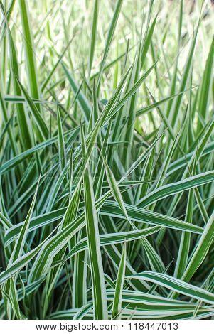 Reed Canary Grass Gardener's-garters Phalaroides Arundinacea