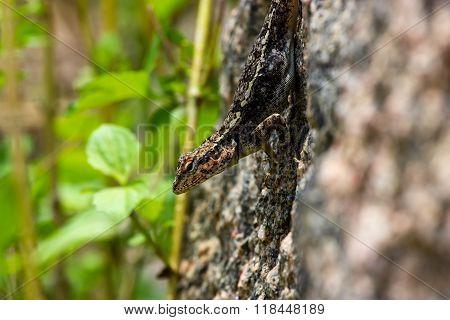 Indian camoflaged Lizard.