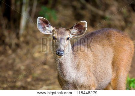 Sambar Deer India,