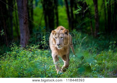 The very rare and endagered Asiatic Lion.