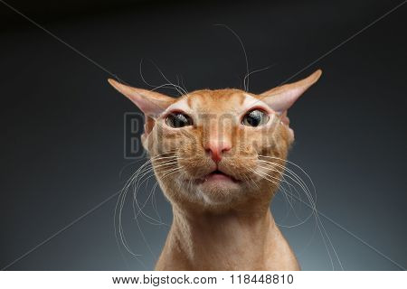 Closeup Funny Ginger Sphynx Cat Surprised Looking In Camera On Background