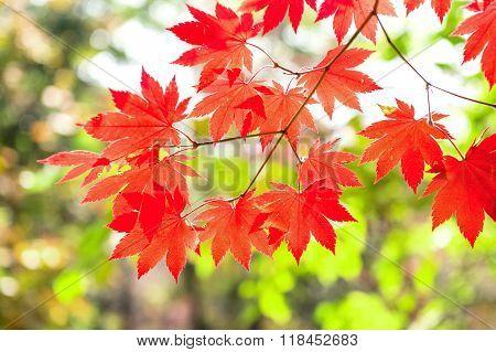 Maple Leaf In Autumn In Korea,autumn Background.(soft Focus)