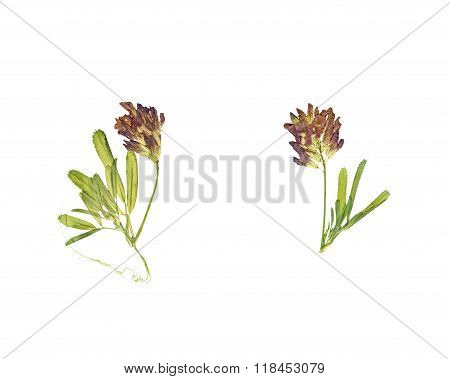 Pressed And Dried Flower Clover Or Trefoil.