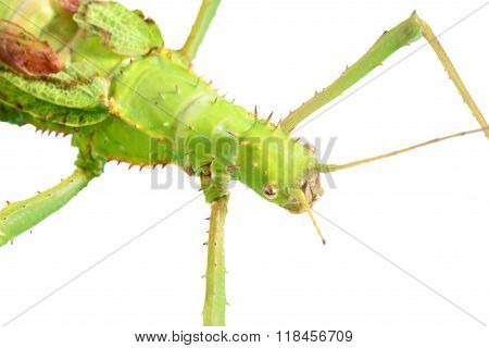 stick insect Heteropteryx dilatata isolated over white