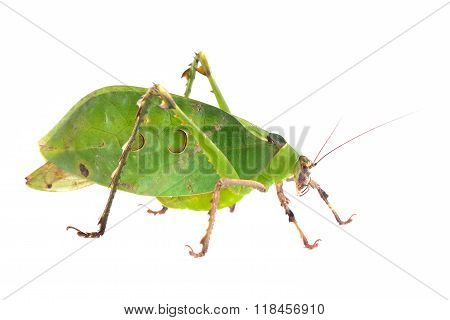 Green giant katydid Ancylecha fenestrate isolated over white