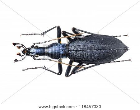 Colorful Ground Beetle Isolated Over White Background