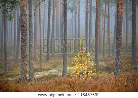 Colourful Lonely Deciduous Tree In The Pine Forest In Autumn