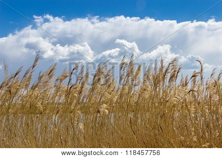 Reed Beds Around A Lake On The Background Of Sky
