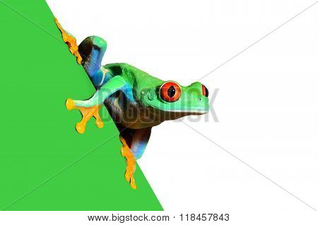 Red-eye tree frog Agalychnis callidryas over white background