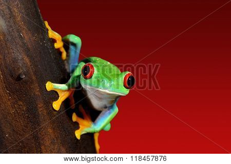 red-eye tree frog Agalychnis callidryas over red background