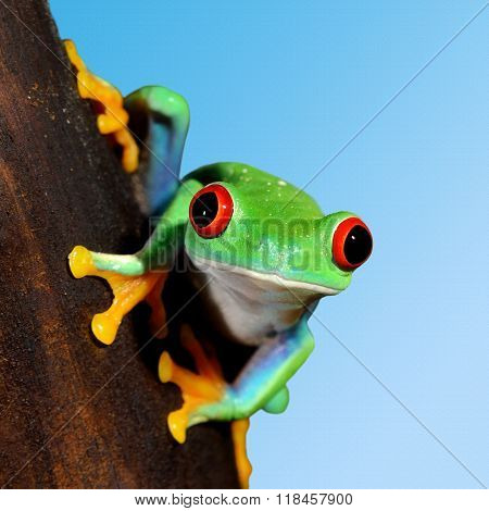 Red-eye tree frog Agalychnis callidryas over blue background