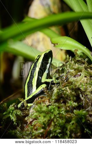 Colourful green frog in a natural looking terrarium environment