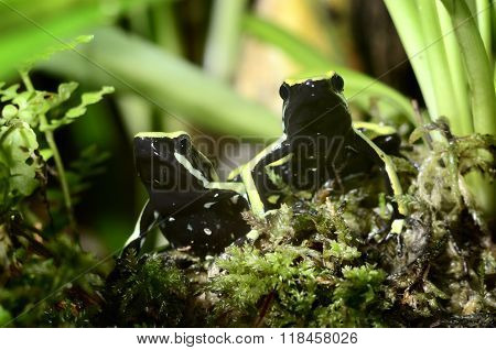 Two colourful green frogs in a natural looking terrarium environment