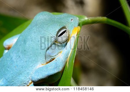 Colourful blue frog in a natural looking terrarium environment