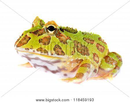 Ornate Horned Frog Ceratophrys Ornata Isolated On White