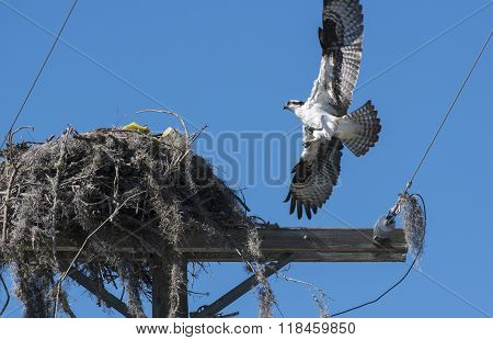 Urban Osprey Bird