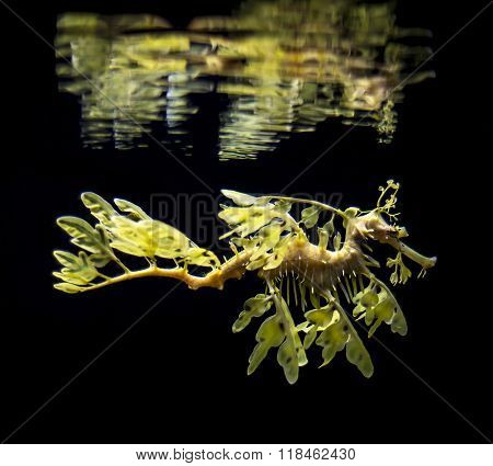 The Leafy Seadragon, Phycodurus Eques