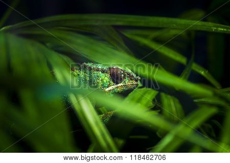 Chameleon Hidden In Thick Greenery