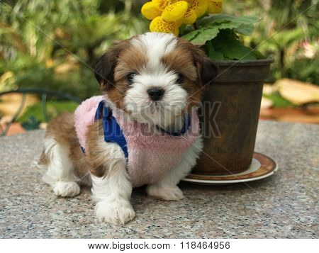 Small Brown And White Color Shihtzu Puppy In Pink Shirt Sitting On Granite Table