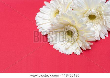 Three White Gerbera Flower On Red Background