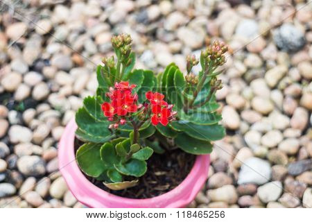 Kalanchoe Flowering Plant In Pot