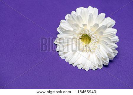White Gerbera Flower On Purple Background