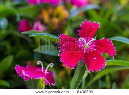 Some blooming Turkish red carnations