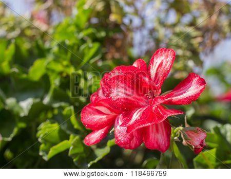 few flowers blooming red geraniums