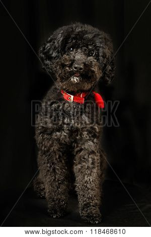 Black Poodle With Red Necklace Show Tongue