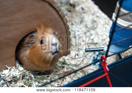 Portret Of Guinea Pig In Her Wooden House