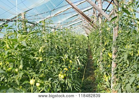 Film Greenhouse With Ripening Tomatoes