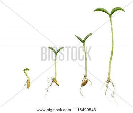 Germination Sequence Of Plant