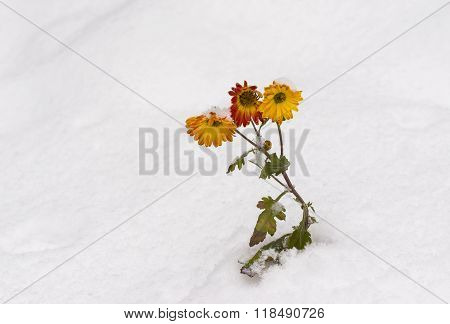 Chrysanthemum flowers under snow pressure