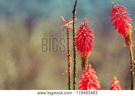 Kniphofia flowers, close up, focus on flowers