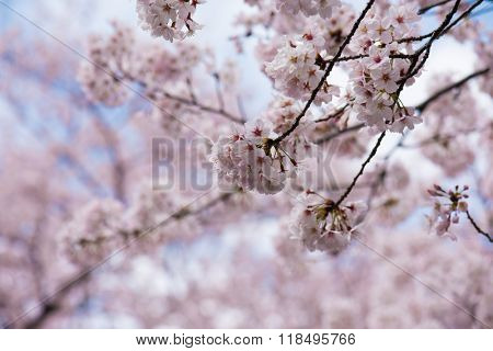 Someiyoshino cherry blossom in early spring. pastel pink and soft sky blue background. Shallow depth of field. Focus on foreground.