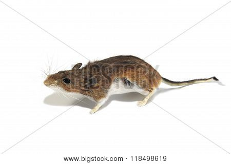 Portrait Of A Field Mouse