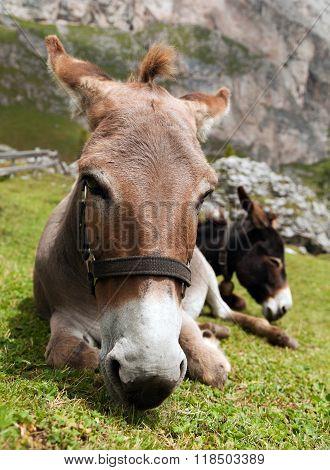 Donkeys - Equus Africanus Asinus