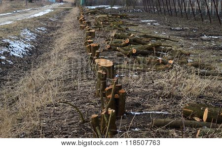 Stumps Of Felled Mulberry Trees