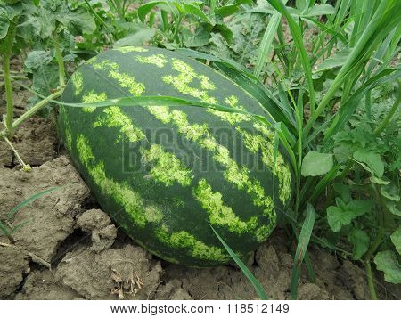 The Growing Large Watermelon In The Field
