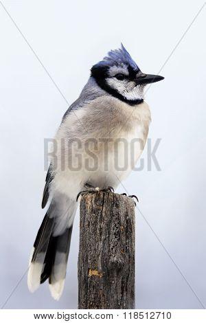 Blue Jay On Pole