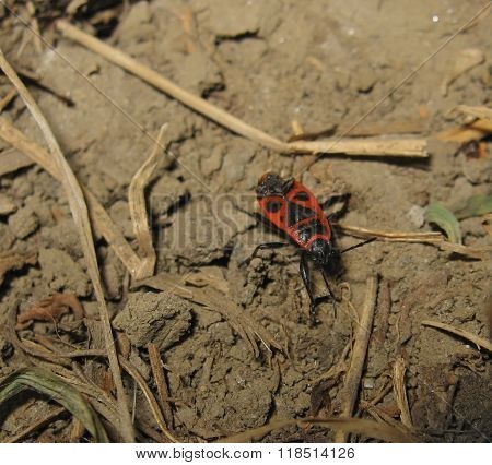 The Image Of Red Bugs In A Native Habitat.