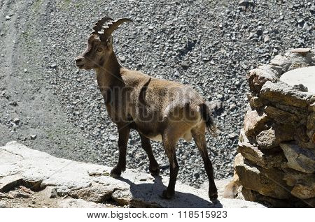 Ibex Stopped On A Rock
