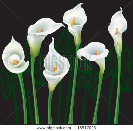 White Calla lilies on black background