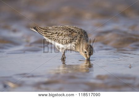 Dunlin Calidris alpina standing in the sea drinking