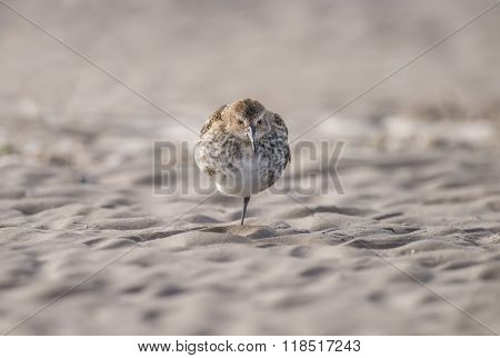 Dunlin, Calidris Alpina, Standing On The Beach