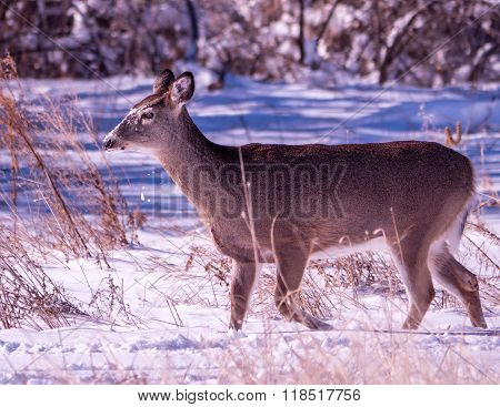 Whitetail Doe With Snow On Her Face