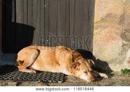 Old brown cross-breed dog laying outdoor