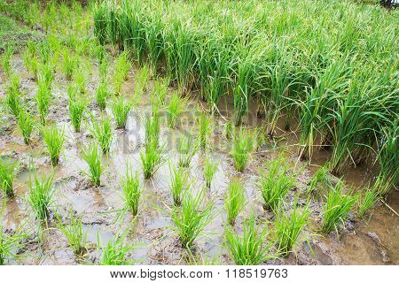 Rows Of Paddy Rice. View Of Young Rice Sprout Ready To Grow In The Field.