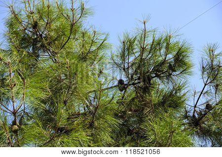 Foliage Of Spruce