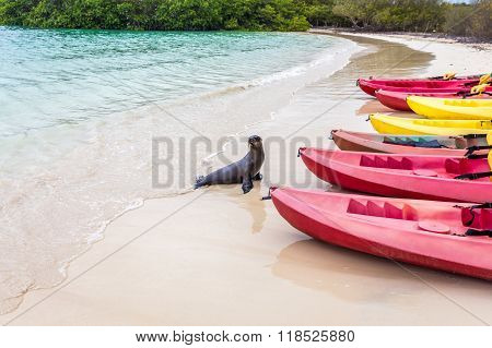 Sea lion going to take a look at kayak